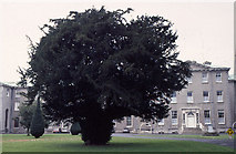 N9437 : Silken Thomas Yew, St Patrick's College, Maynooth. by Dr Charles Nelson