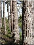 NH9617 : Scots Pine by Callum Black