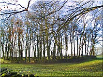 SK1576 : Walled Copse by Roger May
