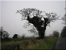 J2369 : Ivy-covered tree by Brian Shaw