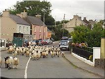 Q5901 : Sheep at Anascaul bridge by Rich Tea