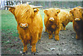 NO3595 : Highland Cattle, near Knock by Colin Smith
