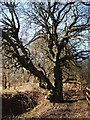 SD7212 : Weird old twisted tree near Eagley brook by Margaret Clough