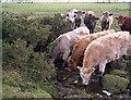 NZ0675 : Cattle on the Blackheddon Burn by Richard Young