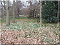 TQ1776 : Snowdrops, conservation area, Kew Gardens by David Hawgood