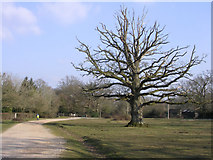 SU3012 : Oak on the green, Bartley, New Forest by Jim Champion