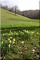 SS6512 : Daffodils in the Hollocombe valley by Philip Halling