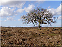 SU2115 : Lone tree north of the Islands Thorns Inclosure, New Forest by Jim Champion