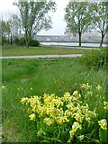 NZ4821 : Cowslips, Teesaurus Park by Mick Garratt