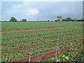 TM4259 : Farmland near Knodishall by David Squire