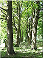 NZ1657 : Another Sycamore Lined Walkway by Christine Westerback