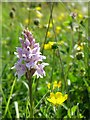 SU6420 : Common spotted orchid, Old Winchester Hill National Nature Reserve by Jim Champion