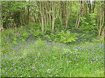 NM6691 : Bluebells and other wild flowers at Camusdarach Lodge by John Haynes