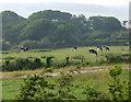 SH5166 : Grazing cattle by Nigel Williams
