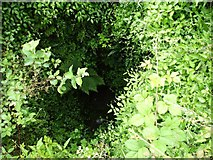 SX4268 : Verdant growth in the lime kiln by Penny Mayes