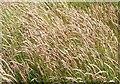 NJ3063 : Grass by Anne Burgess