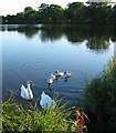 SJ5949 : Inquisitive swans on Baddiley Reservoir by Espresso Addict