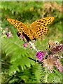 SU3105 : Fritillary on a thistle, Parkhill Inclosure, New Forest by Jim Champion