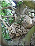 SO4465 : One of 50 great British trees by Andrew Wood