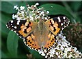 SK5243 : Painted Lady (Cynthia cardui) by Lynne Kirton