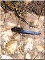 SN6617 : Keeled Skimmer dragonfly resting by Nigel Davies