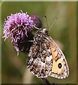 NO7047 : Grayling Butterfly (Hipparche semele) by Anne Burgess