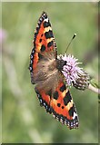 NO7048 : Small Tortoiseshell Butterfly (Aglais urticae) by Anne Burgess