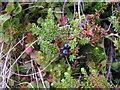 SK1288 : Crowberry (Empetrum nigrum) by Dave Dunford