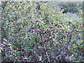 SW8571 : Sloe - fruit of blackthorn - Porth Mear by David Hawgood