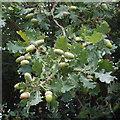 SP7205 : Acorns and oak leaves, near Thame by David Hawgood