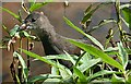 NJ3459 : Moorhen (Gallinula chloropus) by Anne Burgess