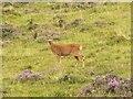 NO1471 : Roe deer doe on open moorland by Rob Burke