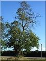 TQ8556 : Ash Tree on Ringlestone Road by Penny Mayes