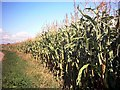 TM3269 : Maize Growing in a field in New Road, Badingham by Adrian Cable