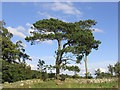 NT6225 : A Scots Pine by a field boundary by Walter Baxter