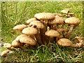 NR7794 : Fungi in West Knapdale by Patrick Mackie