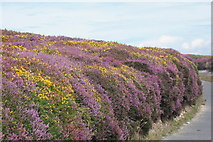 SH2082 : Heather and Gorse near South Stack, Anglesey by Geoff Barber