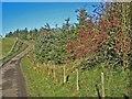 NY9679 : Plantation beside the road to Thockrington by Oliver Dixon