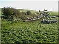 NZ0173 : Field of sheep near Ryal by Oliver Dixon