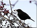 H4772 : Blackbird with berry, Omagh by Kenneth  Allen