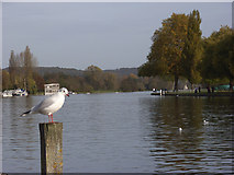 SU7682 : The River Thames, Henley by Andrew Smith