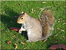 TQ2579 : Grey Squirrel, Sciurus Carolinensis by Colin Smith
