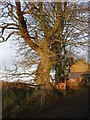 SS7315 : Winter sunshine on beech trees, Little Sheepsbyre. by Jenny Aker