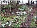 NT8554 : Snowdrops, Allanbank by Richard Webb