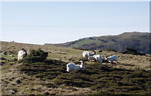 SH7783 : Great Orme's goats by Eirian Evans
