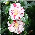 SX4552 : Camellia Blossom 2 by Tony Atkin
