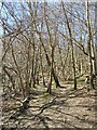 TQ1249 : Young Birch Wood on the North Downs Way by kewfriend