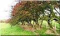 NZ2524 : Overgrown Hawthorn Hedge by Mick Garratt