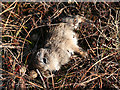 SK1895 : Dead Mountain Hare leveret, Margery Hill by Dave Dunford