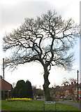 "SO9096 : Oak Tree on ""Royal"" Estate, Penn, Wolverhampton by Roger  Kidd"